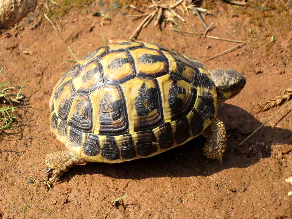 Tartarughe di terra come si allevano velvetpets for Letargo tartarughe acqua