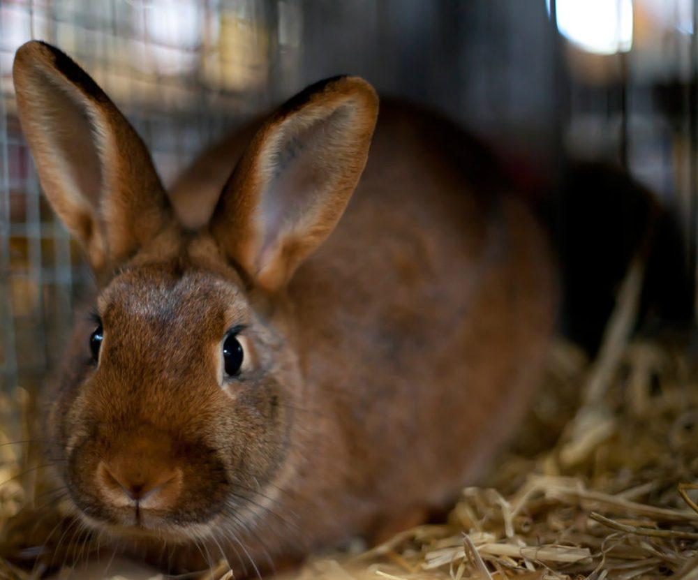 Razze Coniglio: il nano e altre 7 più incredibili che esistono [FOTO]