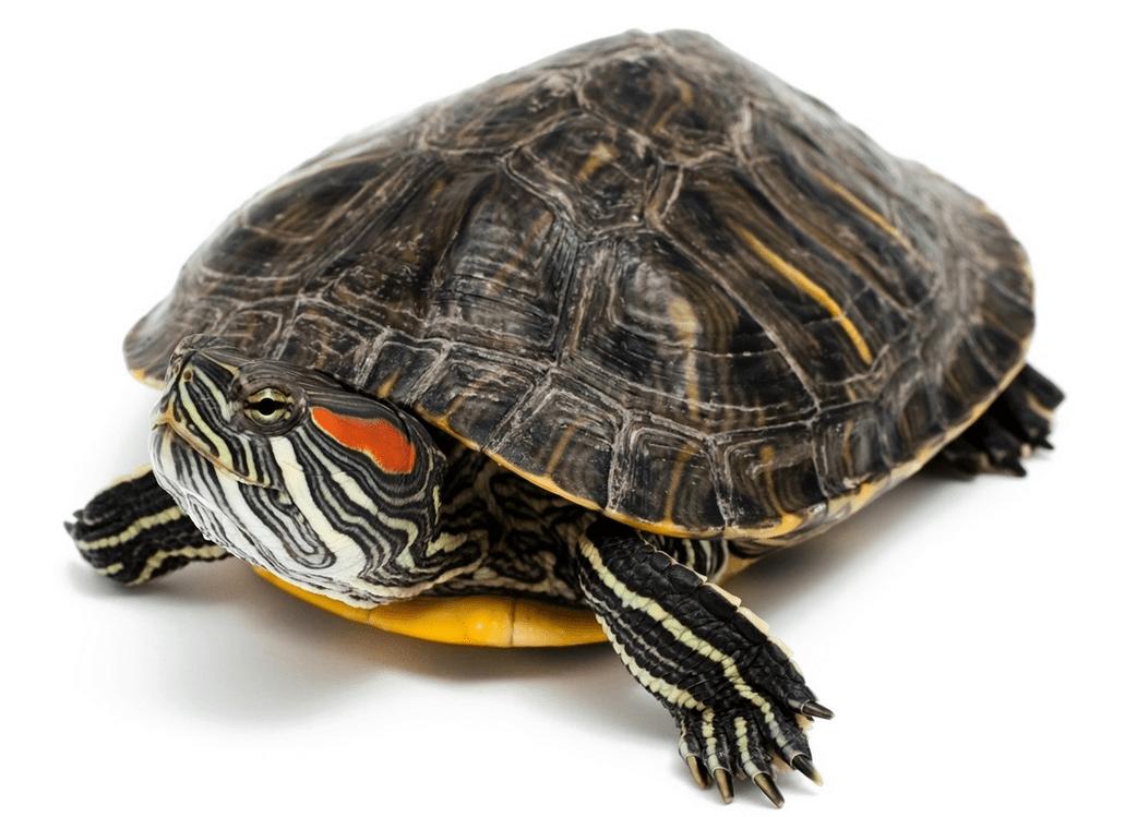 Tartarughe d acqua scheda e specie velvetpets for Lago per tartarughe