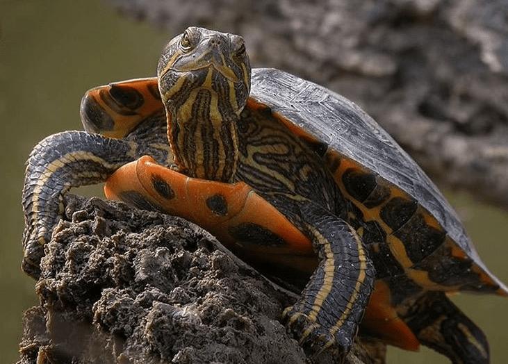 Tartarughe d acqua scheda e specie velvetpets for Tartarughe razze