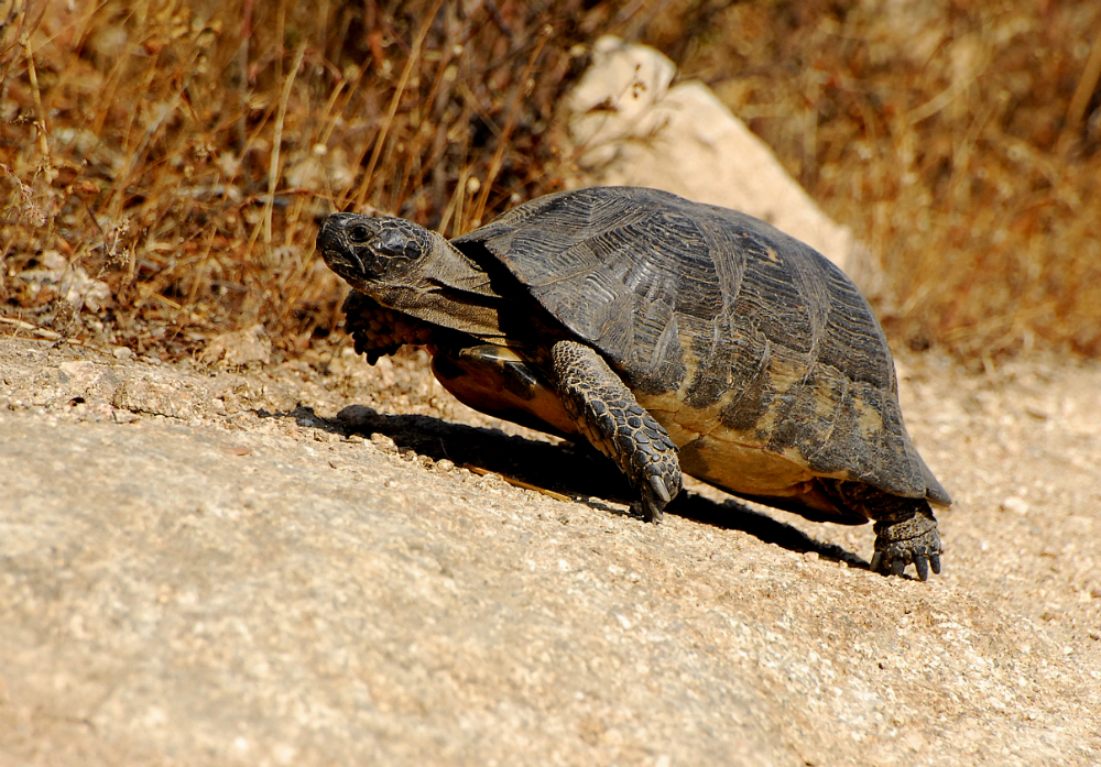 tartarughe di terra tutte le specie velvetpets