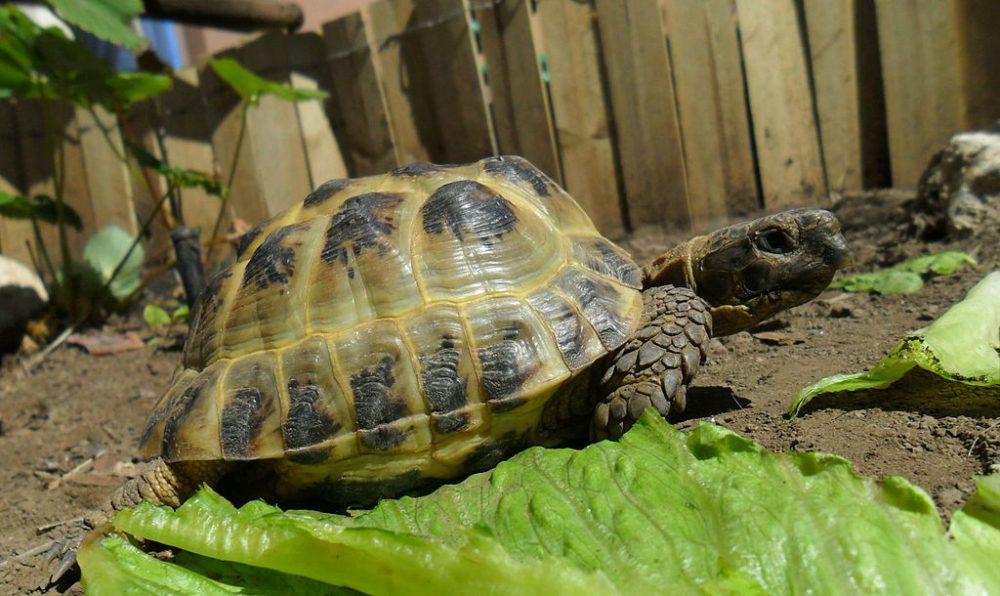 Tartarughe di terra tutte le specie velvetpets for Temperatura tartarughe
