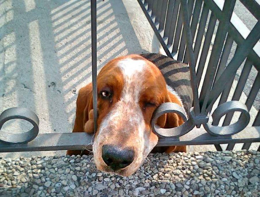 Caldo torrido: cani abbandonati sui balconi sotto al sole, allarmante il numero di segnalazioni