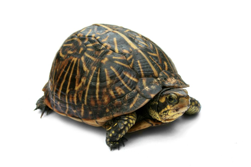 """L'esperto risponde"": la micoplasmosi nelle tartarughe"