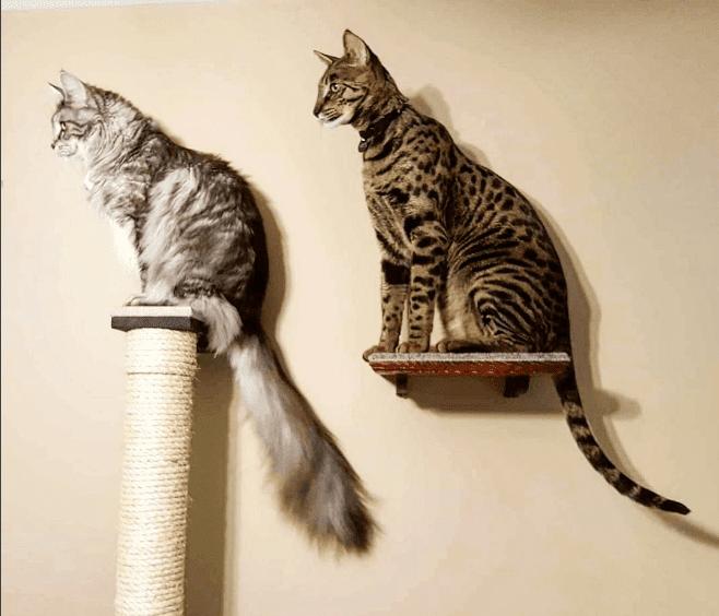 Cygnus il gatto con la coda pi lunga del mondo foto for La coda del gatto