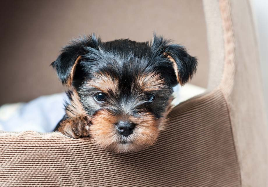 Yorkshire Terrier In Appartamento