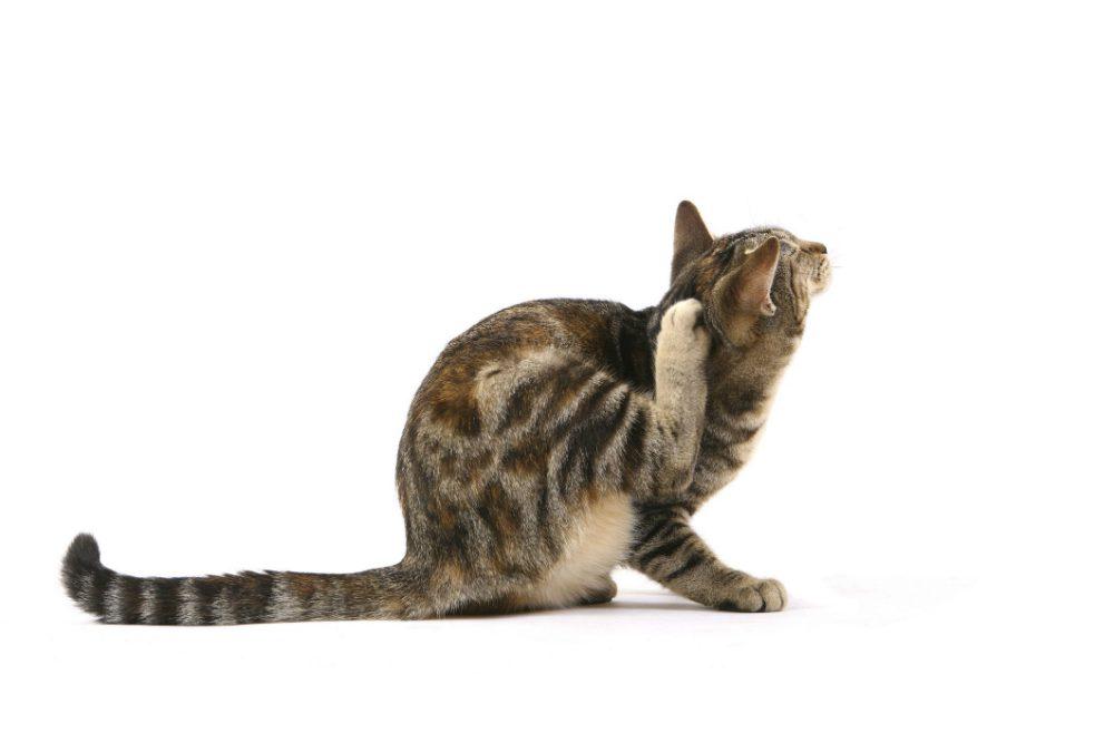 """""""L'esperto risponde"""" – Dermatite da contatto nel gatto: cause e cura"""