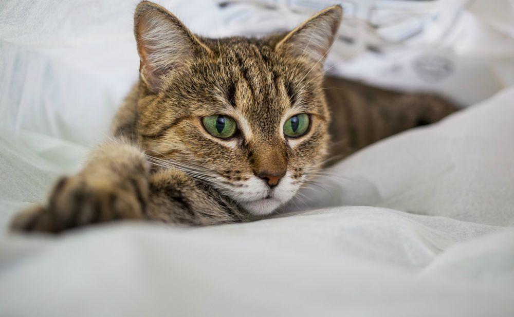 Albumina bassa nel gatto: cause e rimedi