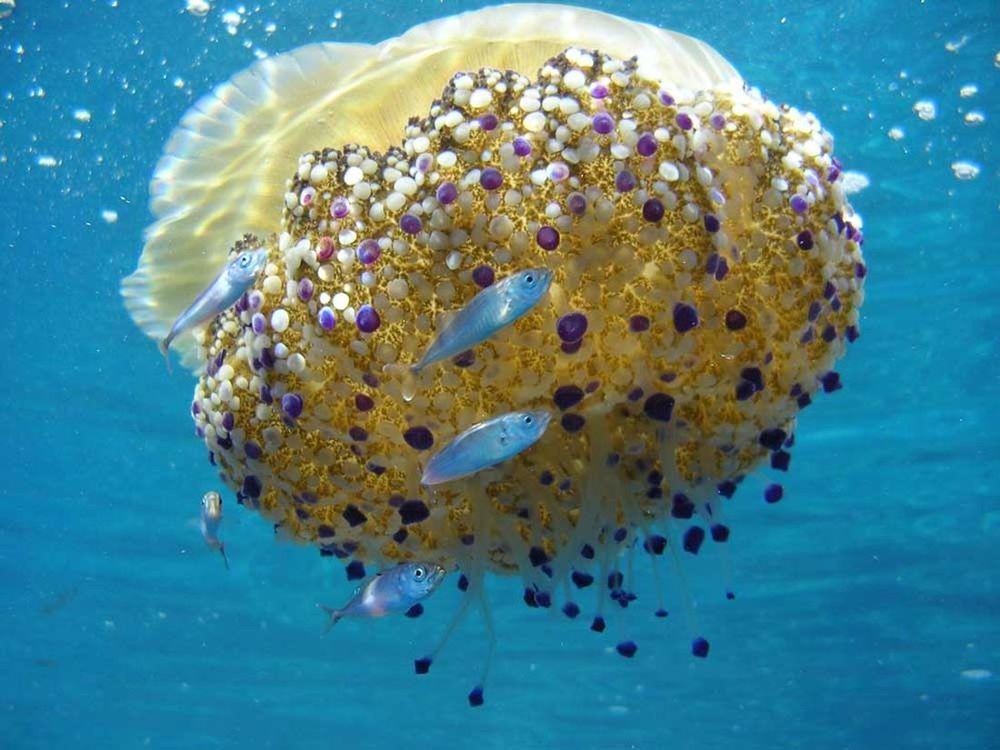 Le meduse dormono? La risposta della scienza…