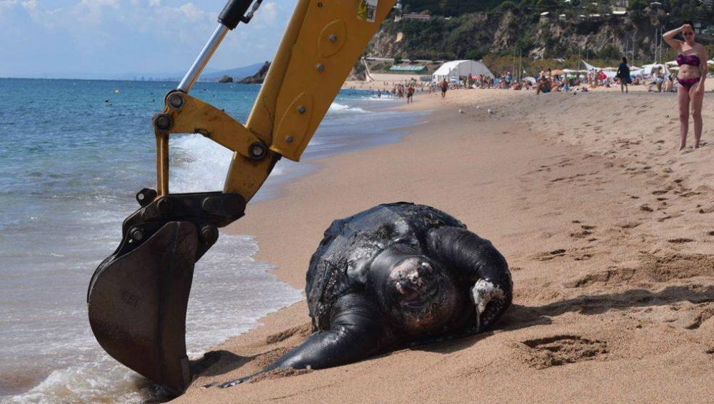 Tartaruga gigante spiaggiata a Barcellona: un esemplare dalle dimensioni record [VIDEO]