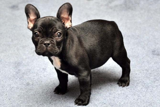 Cani da appartamento razze che in casa non danno problemi