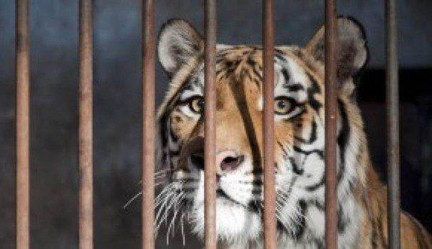 Addio a Kashmir, la tigre di 19 anni che ha sempre vissuto in gabbia