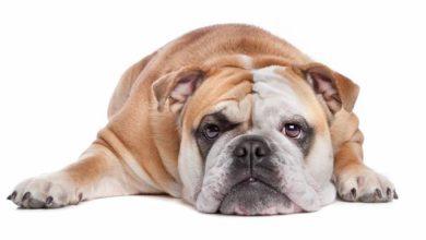 Verona: centinaia di bulldog inglesi e appassionati cinofili in arrivo da tutta Italia per il 16° #Bulldogday