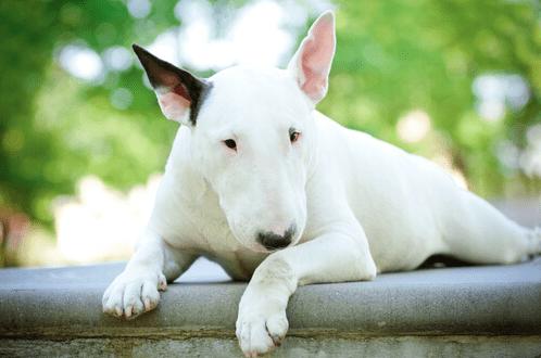 MONTEU DA PO - Addestratore sbranato da un bull terrier