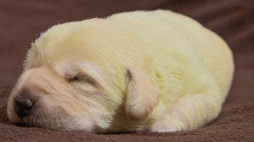 Immagini incredibili: Labrador partorisce e uno dei suoi cuccioli sconvolge tutti perché… [VIDEO]