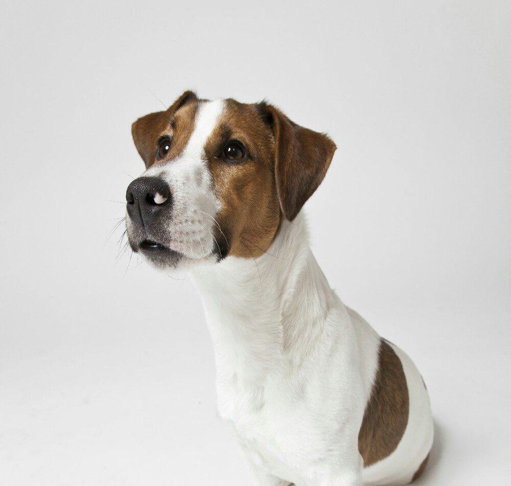 """""""L'esperto risponde"""" - Piastrine alte nel cane: cause e conseguenze"""