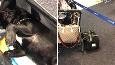 Hostess obbliga a mettere il cane nella cappelliera dell'areo: Bouledogue francese muore in volo