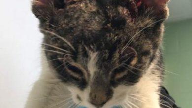Il gatto senza orecchie trova il papà ideale: la storia di Shireen [FOTO]
