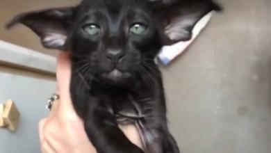 Di che razza è questo gatto? Il nuovo quesito che impazzire la Rete [VIDEO]