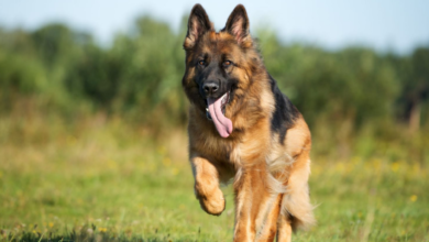 I cani sono dei bugiardi: ingannano il proprietario a loro piacimento