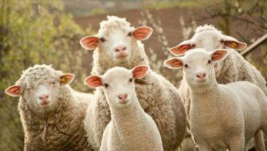 Pecore e capre per tosare l'erba dei parchi: l'idea che spiazza il web
