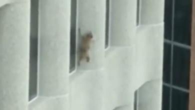 Un procione scala un grattacielo: la sua impresa diventa virale [VIDEO]