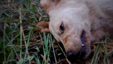 Trovata sepolta viva, cagnolina partorisce 11 cuccioli. Poi la tragedia