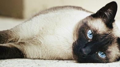 Siamese: 5 cose che (forse) non sai del tuo gatto