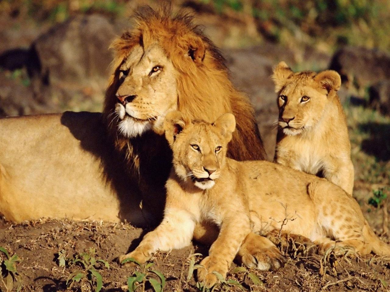 Sfondo leone hd gallery of re leone with sfondo leone hd for Sfondi leone