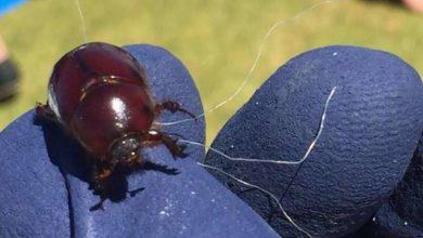 Papà eroe fa un'operazione incredibile per salvare uno scarabeo