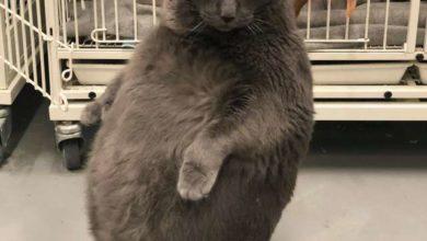 Tutti vogliono il gatto obeso che cammina a 2 zampe e... Bruno ha trovato casa!