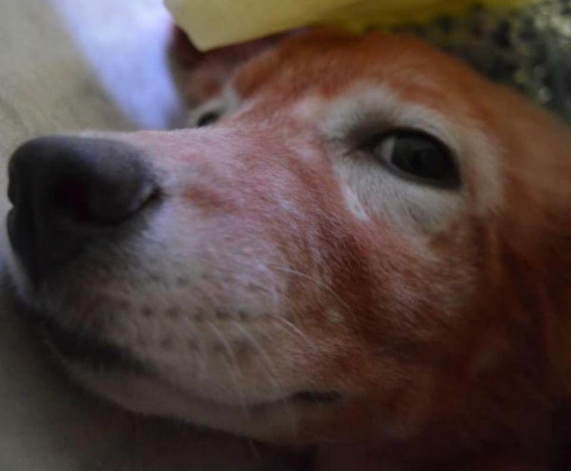 """Cane tinto di rosso perché """"piaceva all'acquirente"""": come sta oggi"""