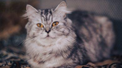 razze di gatto che non miagolano