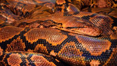 Serpente gigante Malesia
