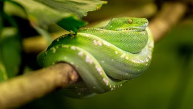 Serpente iridescente arcobaleno