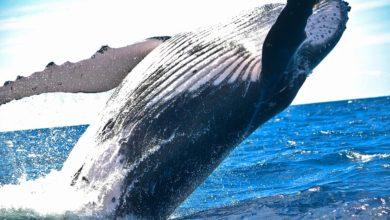 balene più corte