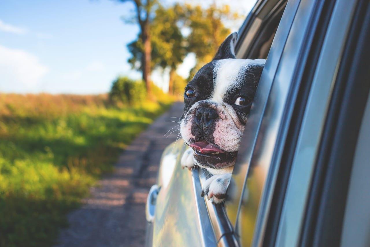 cane mal d'auto