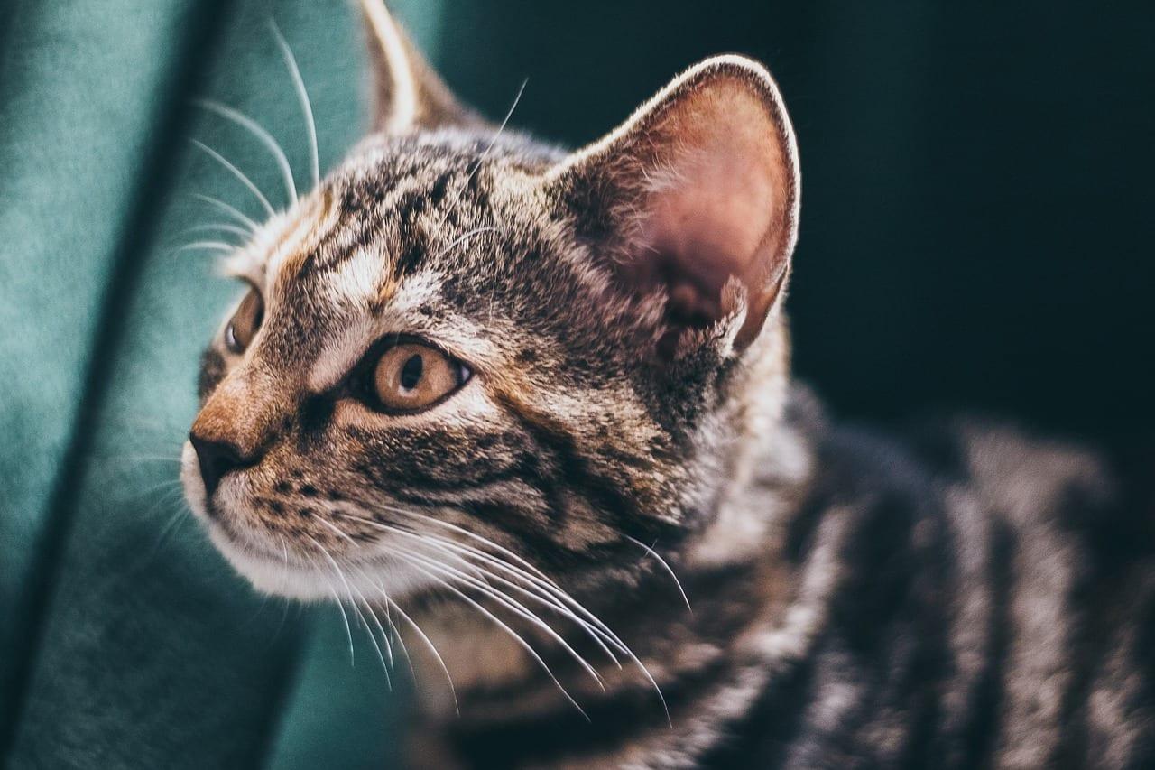 gatto sordo cause sintomi