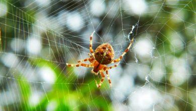 invasione ragni Australia