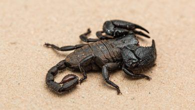 Scorpioni si illuminano al buio bioluminescenza