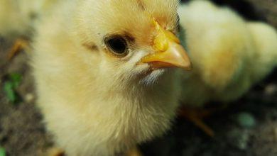 Francia stop schiacciamento pulcini maschi