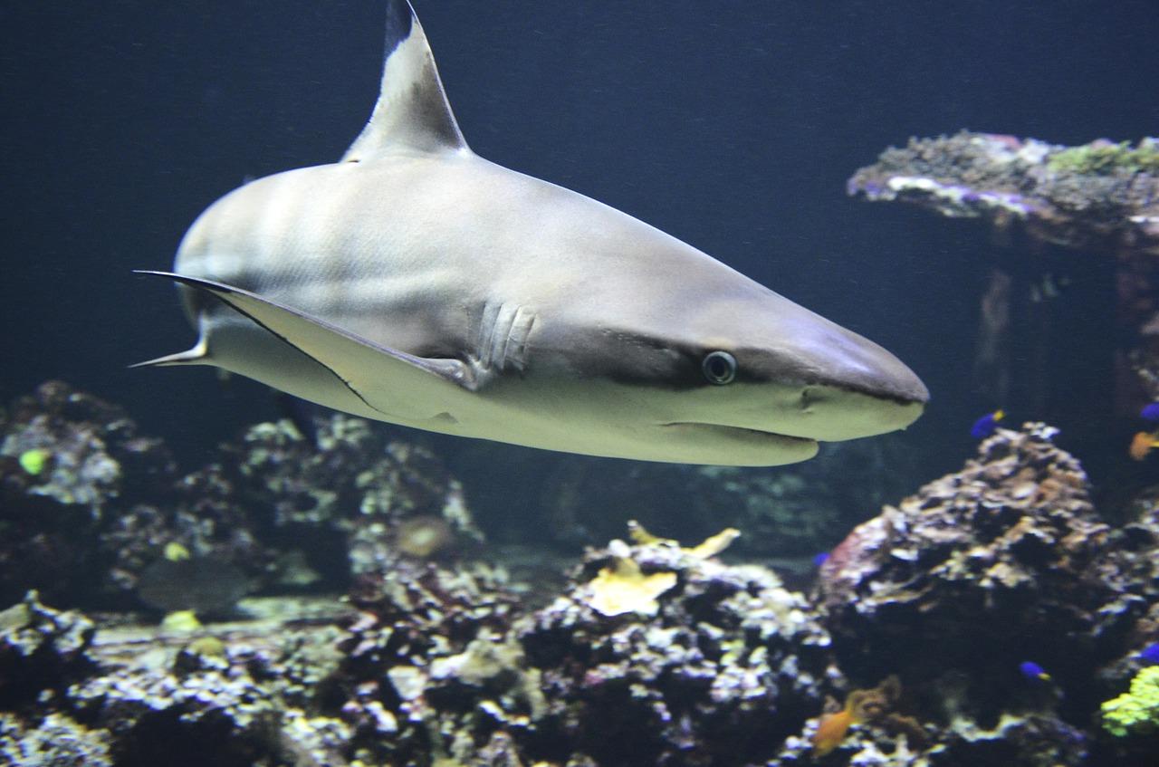 angeli squali salvano specie a rischio