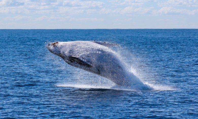 balene tornano regioni polari