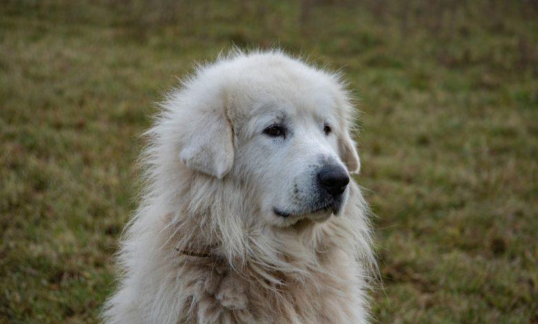 cane pastore Sardegna incendi