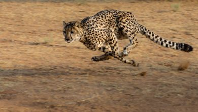 ghepardo più veloce del mondo