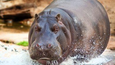 ippopotamo partorisce a 50 anni
