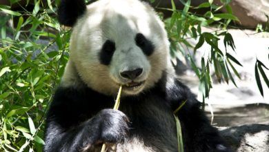panda fuori rischio estinzione