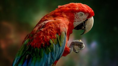 pappagallo muta anomalie