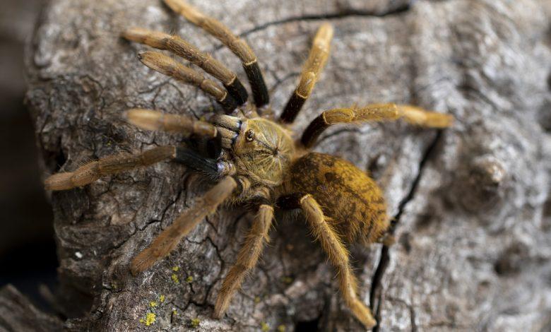 ragno velenoso salva da infarto