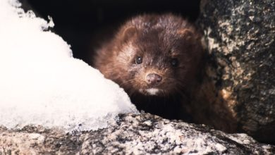 visone animale pelliccia proposta chiusura allevamenti